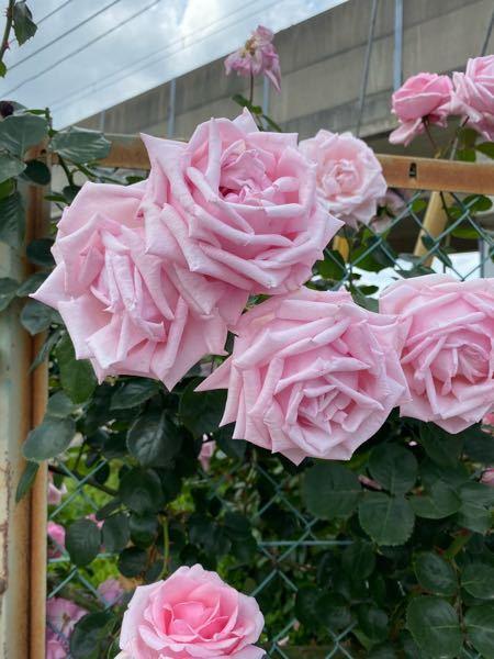 この大輪の薔薇は何という名前でしょうか?