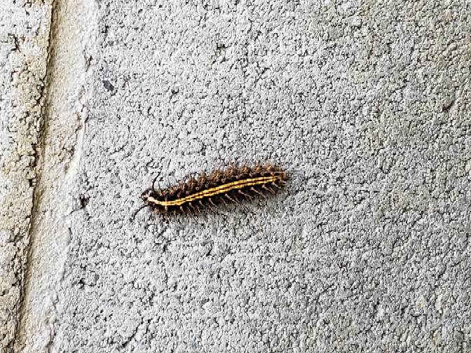 この毛虫、なんでしょう? どんな害がありますか?