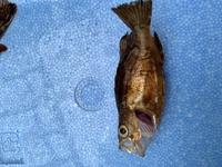 この魚の名前、食べれるか、食べ方を教えてください。