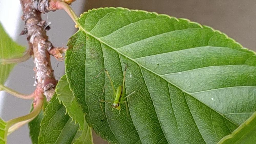家の鉢植え河津桜の葉にいたこの小さい虫の名前がわかる方いますでしょうか?