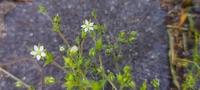 ハコベにも似てますが歩道の植え込みに咲いていました。 何んと言う植物でしょうか?