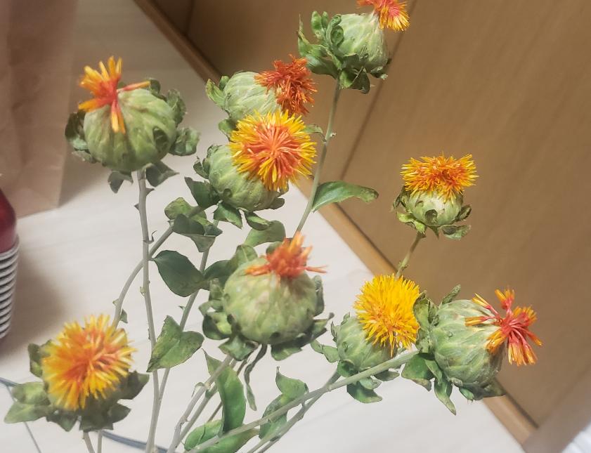 キク科の仲間の花をスーパーで買ってきたのですが、買った時から咲きかけていた花はどれもしおしおで元気がなく、葉っぱもカサカサの状態でした。 切り口を新しく斜めカットで大きめの切り口にして水につけておけば元気になるかな?と思ったのですが、一向に元気になりません。 とりあえず、カサカサの葉っぱは全て取ってしまいました。 うちに来てから新しく咲いた花はどれも元気でみずみずしいのですが、最初から咲きかけだった花(色が濃いめのものがそうです)は全て買ってきた時のままそれ以上開くこともなく、花びらもカサカサしています。 これらはもう、これ以上開くことはないのでしょうか? もう花がだめになってしまっていてこれ以上咲かないようであれば、元気な花にたくさん水が行くように、切ってしまおうかと思っています。 もし何か手立てがあれば、教えてください。