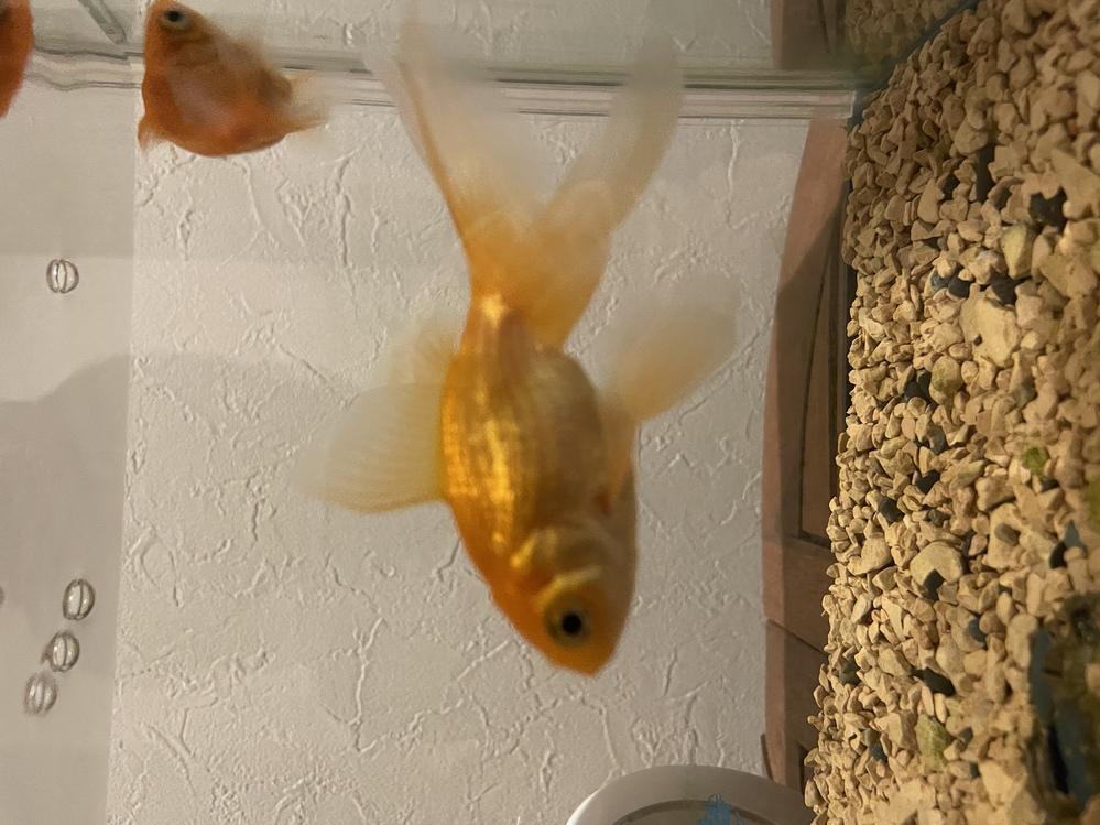 金魚の種類わかる方いたら教えてください。(画像あり)