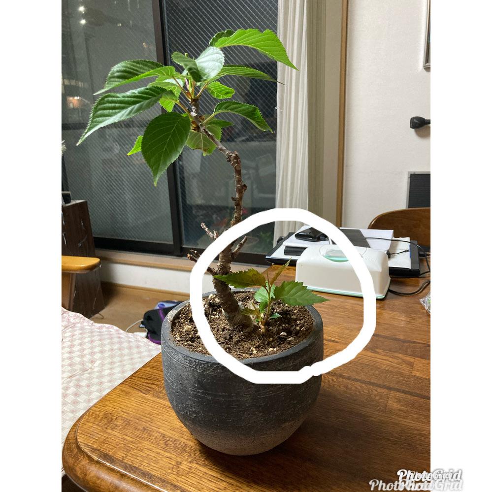 園芸初心者です。春に、桜の鉢植えを買いました。(大きさからいうと盆栽?) 根本から芽が出て、少しずつ育っているのですが、これはどうしたらいいですか?