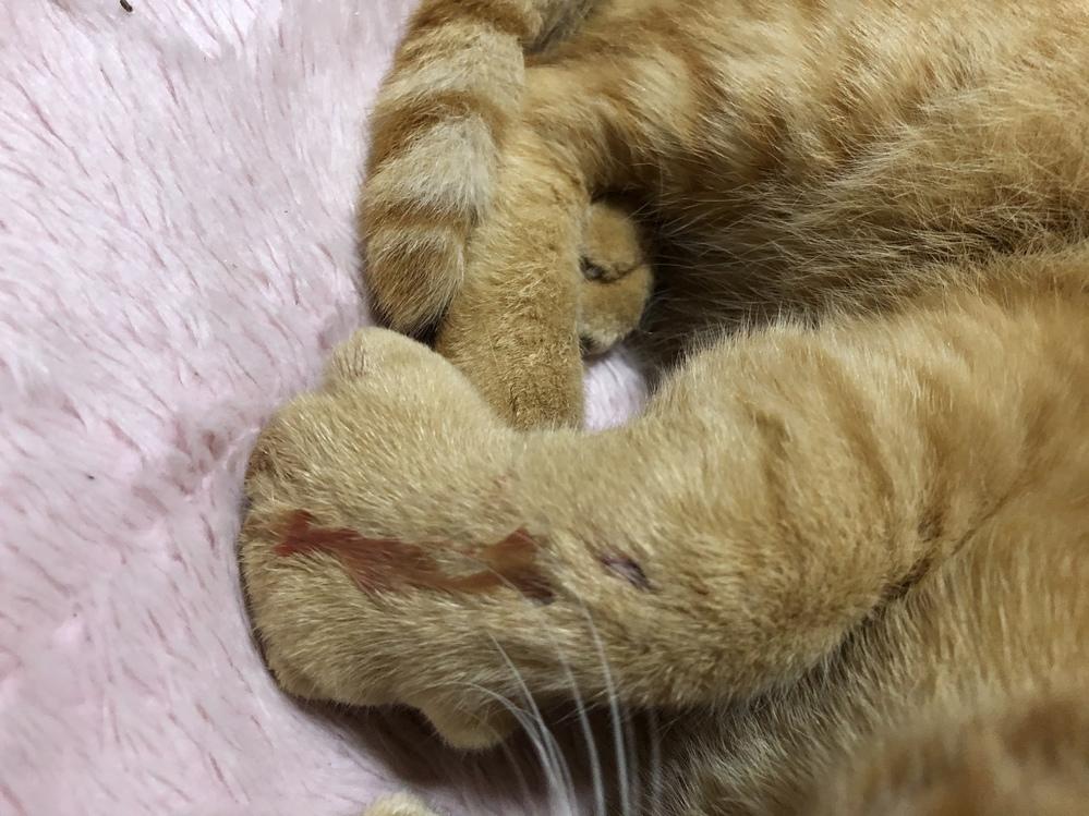 猫がなにかに噛まれた跡があり足が腫れて痛がっているのですがどうしたらいいですか? 今は、応急処置で噛まれた跡に消毒をし、包帯を巻いてます。