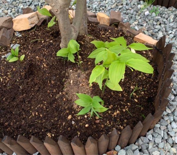 はじめて質問します。 こちらの写真の植物が突然生えてきました。 どなたか種類の分かる方いらっしゃいますか??