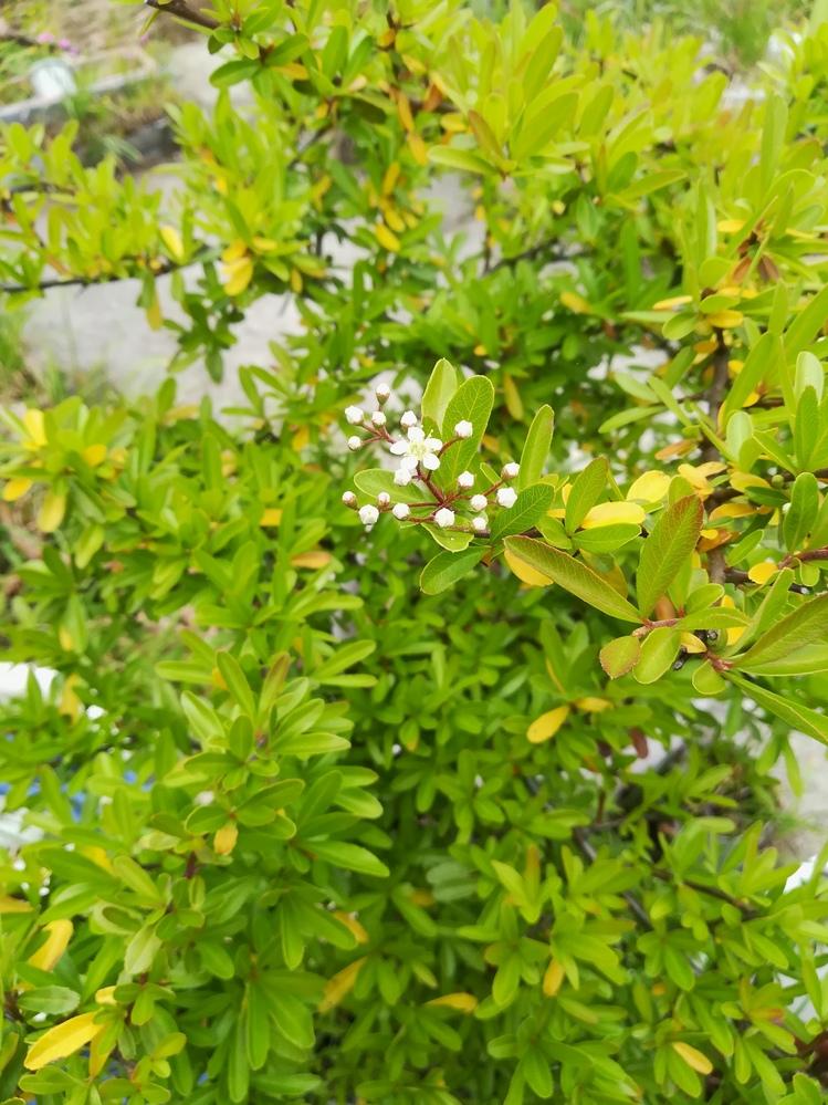 この植物の名前を教えてください。 写真では分かりづらいですが、 常緑の小さな木です。 もしご存知の方がいましたら 宜しくお願いします。
