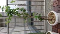 ホームセンターで購入したサクラ(ソメイヨシノ)を今年の4月にプランターに植えました。置場所は都内のマンションのベランダで、風通しがよく、一日中日光があたる位置です。土はホームセンターの販売員が薦めた元肥 入り用土を使用、水やりは毎朝一回です。丈は60センチくらいです。しかし、この2週間くらいで写真のとおりに葉の縁から枯れて茶色になってきてしまいました。管理の仕方が良くないのでしょうか?回復さ...