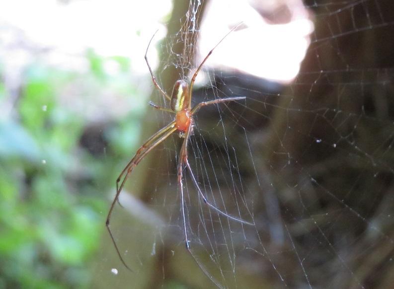 どなたか、このクモの名前を教えていただけないでしょうか。チュウガタシロガネグモでしょうか。