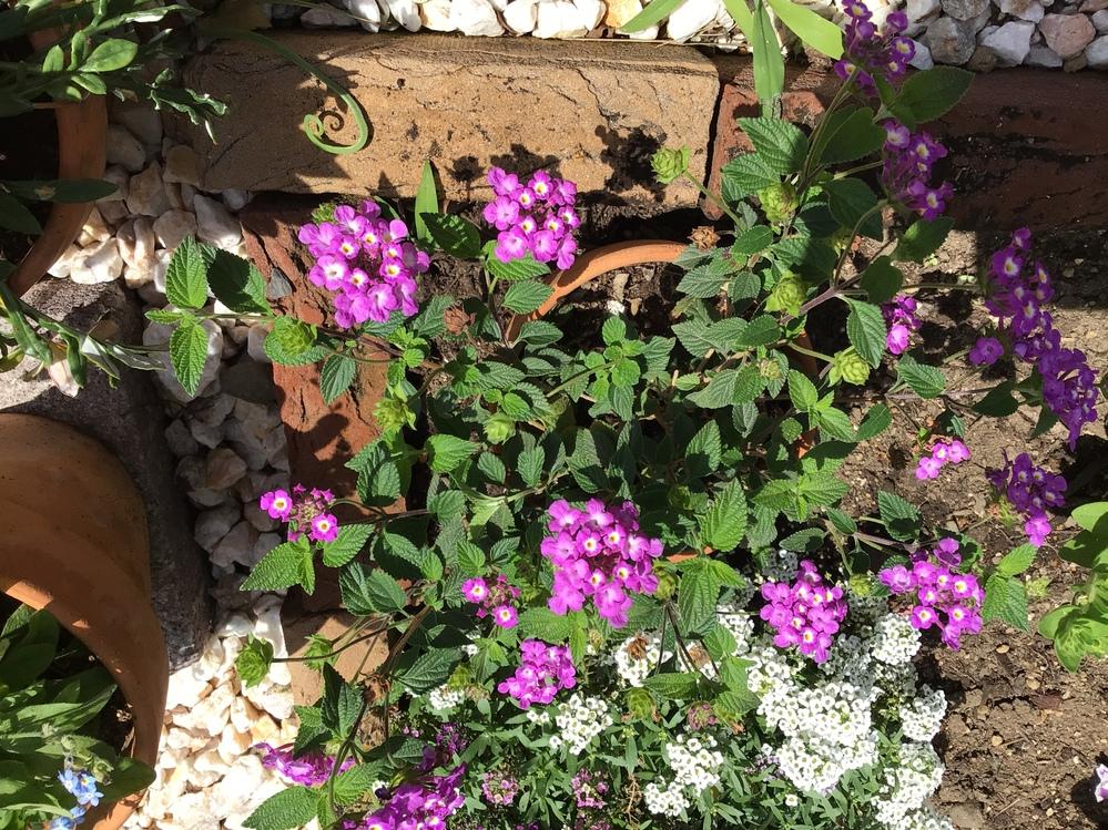 この花はなんでしょうか?低木のようです。ちなみに後ろの白いのはアリッサムだと思います。