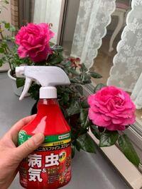 バラにベニカXファインスプレーをかけました。花を切ってからスプレーするべきでした。花には直接スプレーしていませんが、切って花瓶に生けるのに、室内に持ち込んではダメですよね。水シャワーをベランダ壁と花に 軽くかけました。風下に置いてスプレーしました。教えてください。