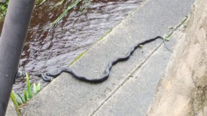 この蛇の種類を教えて下さい。 家の横に居ました。 毒有りますか?