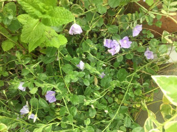この花は何ですか? 雑草ですか? 小さい朝顔みたいな花が咲き、丸い葉が沢山です。