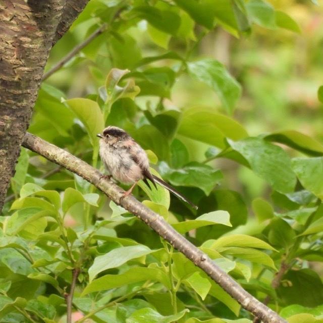 今日撮影したエナガです。 ふわふわの羽と普通の羽と混在しています。顔や尾など幼鳥かと思ったのですが、成鳥で単に冬毛からの生え替わりでしょうか?ご教授ください。