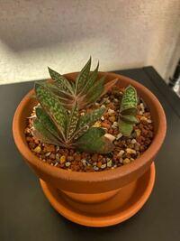 この植物、めっちゃかわいくて一目惚れして購入したのですが、なんていう植物なのか気になります 詳しい方、教えてください!