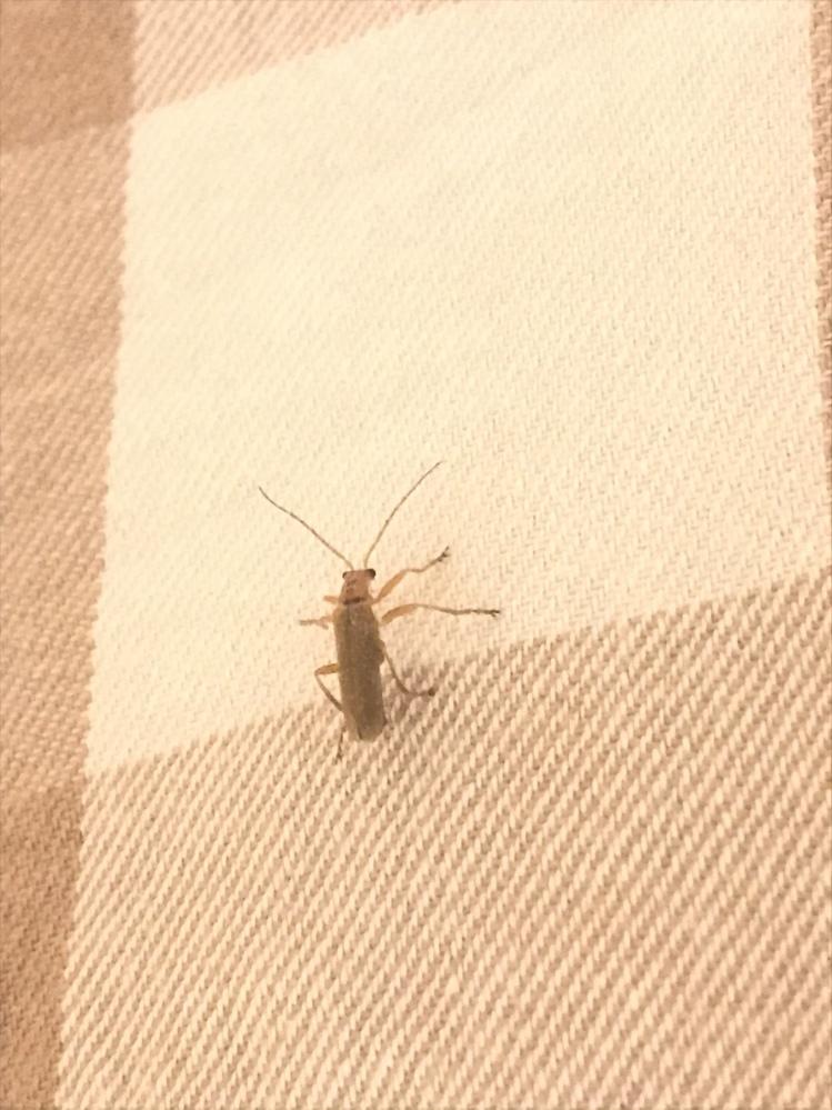 この虫はなんという虫ですか?? 家の中に入ってきて、外に逃がしました。 親指の爪ぐらいの大きさです。 カミキリムシの仲間かなと思うのですが、なんという虫かわかりますか? 興味本位で知りたいです(^^)