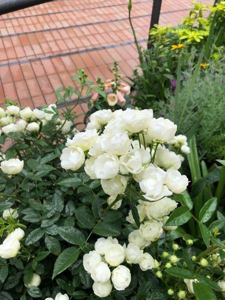 今日素敵なバラを見ました。 小さな花輪のバラでしたがミニバラではないと思います。 品種がわかりましたら教えて下さい
