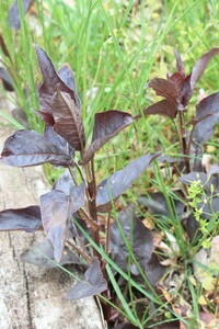 この茶色っぽい葉の植物の名前を教えて下さい
