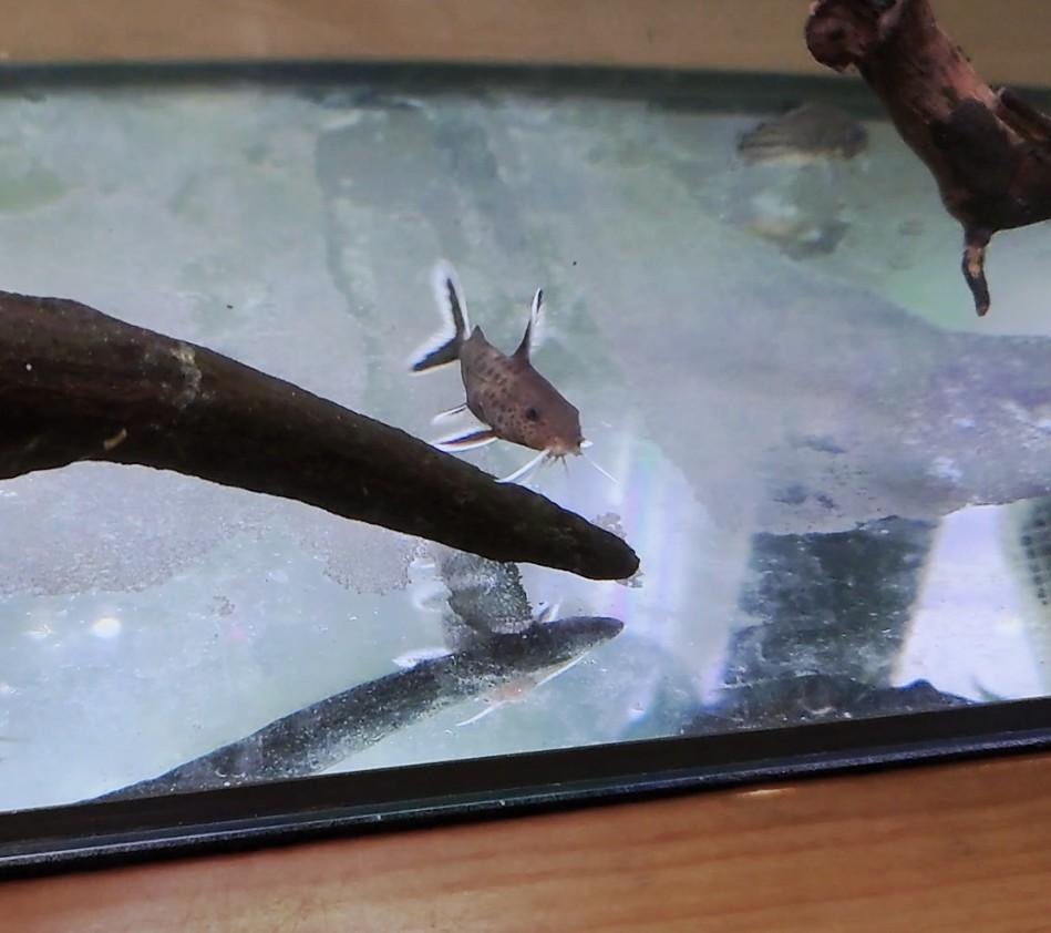 この魚の名前を教えてください。 ナマズ系のお顔立ち ボディはヒョウ柄 ハイブリッドレオパードという名前で売られており ショップ店員さんには5センチくらいにしかならないと言われました。 その名前で検索しても引っかからないので詳細を教えていただきたいです よろしくお願いします