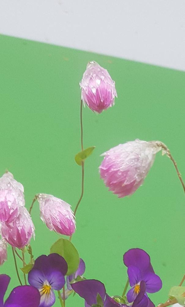 この花の名前を教えてください。 これが咲いてる状態なのかしぼんでるのか分からないですが,可愛い花でした。
