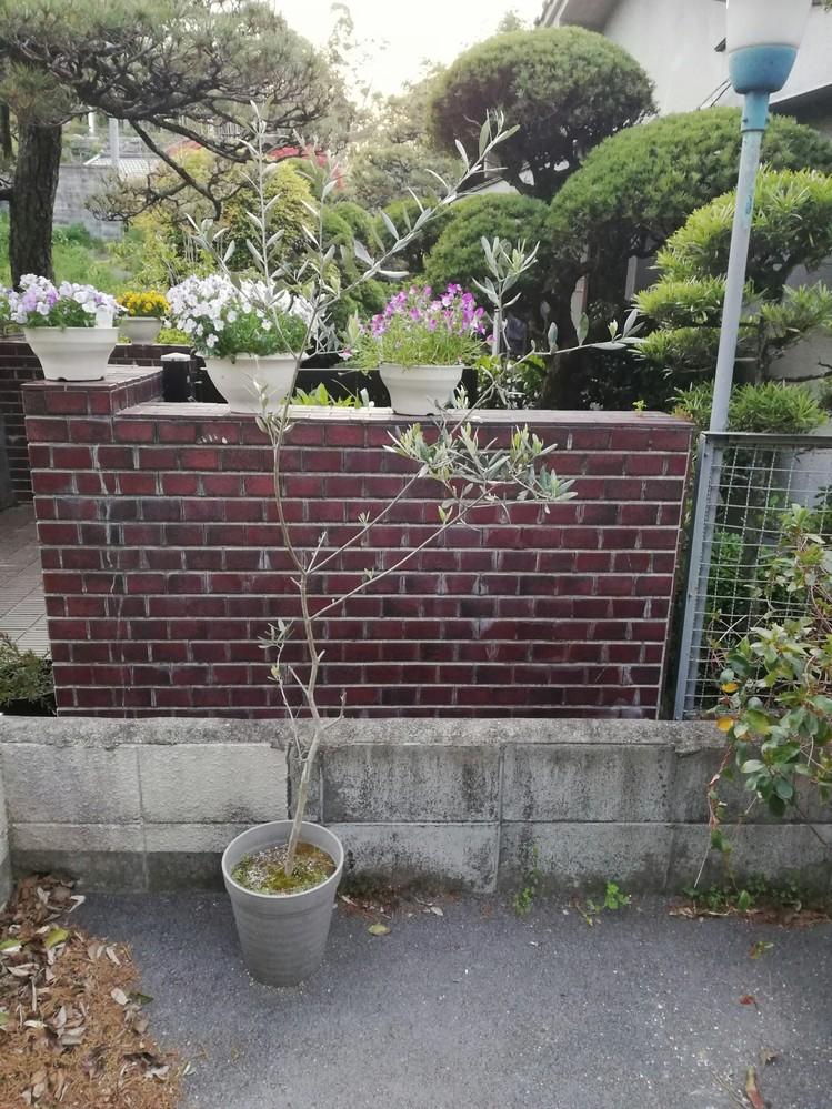 オリーブの木がどんどん先だけに葉がついて 横に枝葉がついてこないのですが どうすればもっと形がよくなるでしょうか? よろしくおねがいします