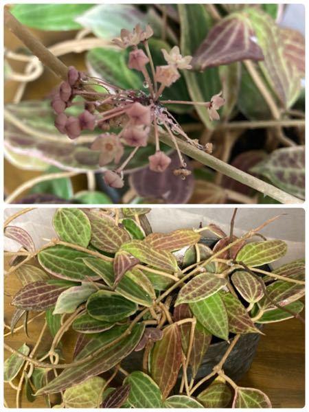 家にある植物の名前がマジでわからないです。 おそらくホセ科の植物で春と秋に小さな花を咲かせます。花の色は写真のような少し渋いピンクで、花から滴るほど甘い香りの蜜を出します!葉っぱは多肉のように肉厚で硬めです!知ってる方教えて欲しいです!