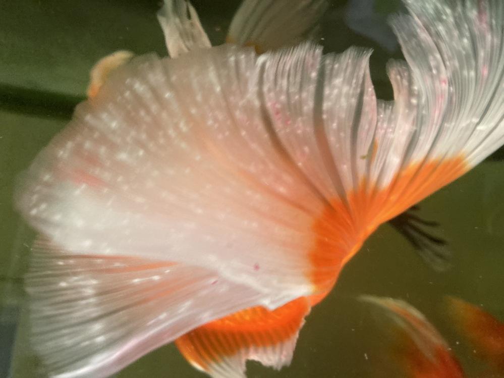 金魚の病気について教えて下さい。 水槽飼育していますオランダ獅子頭の尾ひれに白もやの点が多数出ております。 どういった病気でしょうか?また、どういった治療法が有効でしょうか? 言葉では説明しづらいので、ひれの画像を添付します。 知恵をお貸しください。