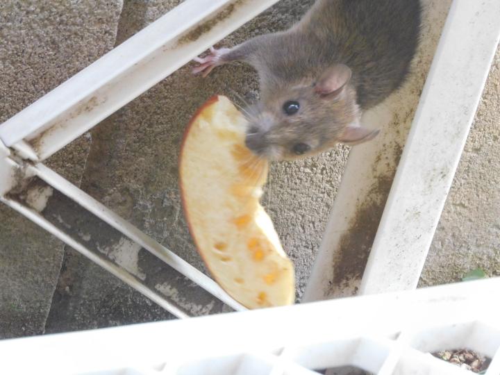このネズミはなんと言うネズミでしょうか? まさか…ラットではないですよね?