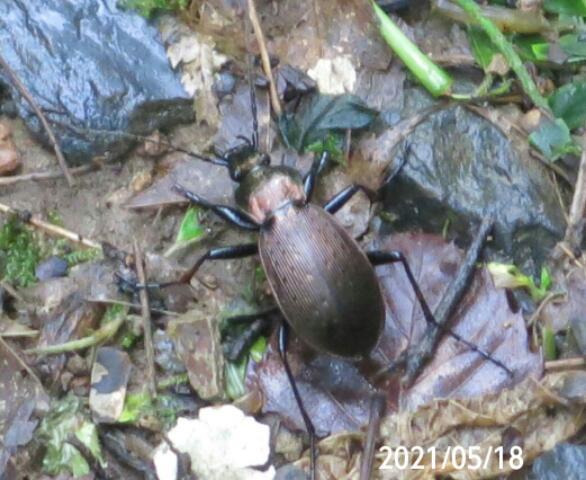 虫の名前を教えて下さい、 岐阜県米田白山で、 撮影20210518