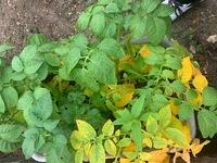 ジャガイモの葉が黄色  ジャガイモの葉が黄色になっています。 どうやらそれが広がってきたようです。  その原因と対策を教えてください。 まだ緑の葉を見ると赤さびのような斑点があります。
