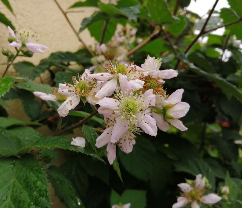 薄っすらとピンクが入ったこの花は何と言う植物でしょうか。 ご存知の方がいらっしゃいましたらお教え下さい!