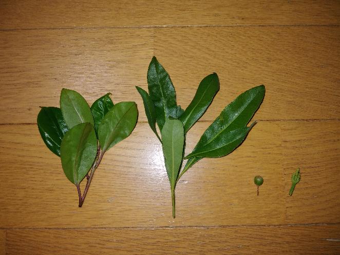 この葉や実?の名前わかる方教えてください。