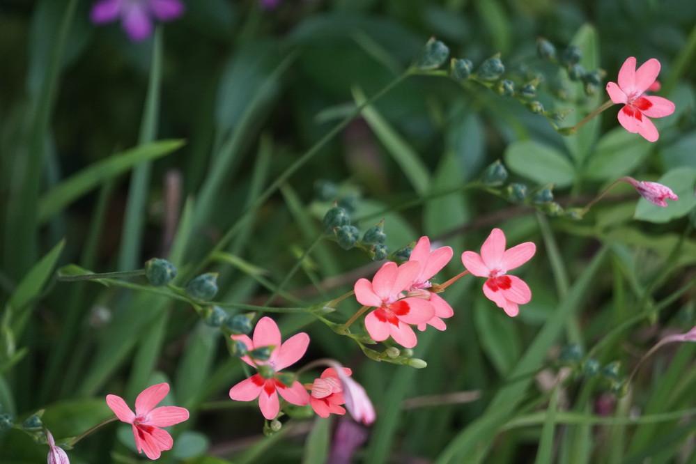 植物です。 ピンクのお花の名前が解りません。 宜しくお願いします。