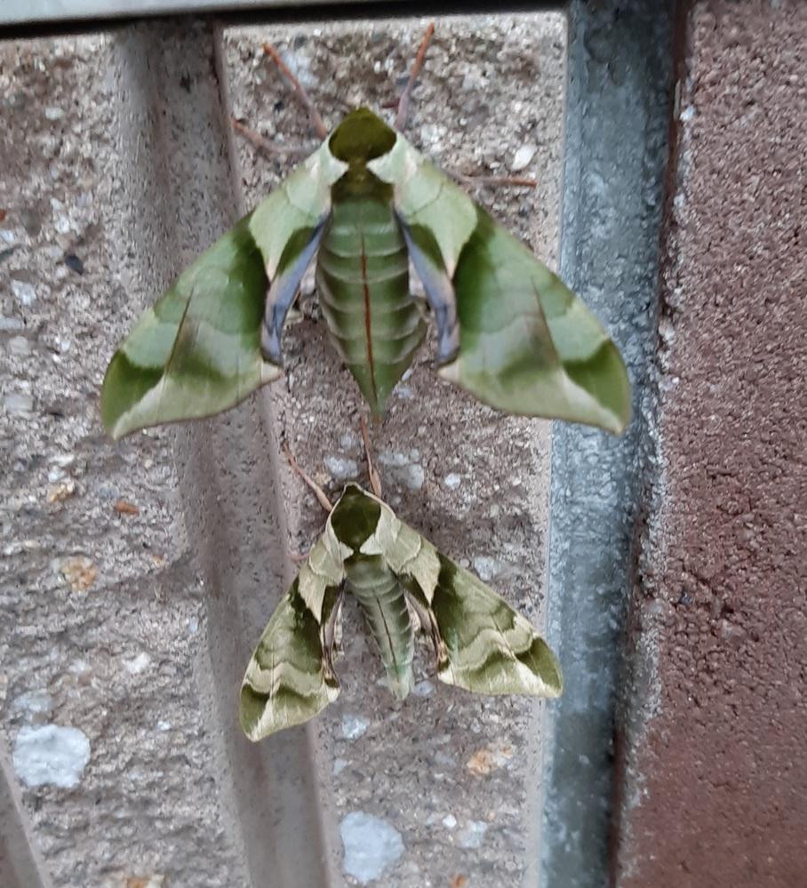 この虫の名前を教えてください。 子供が葉っぱにそっくりな虫を見つけたのですが、辞典にもネットの画像検索にもひっかかりません。 是非詳しい方がいらっしゃいましたら、ご教授ください。