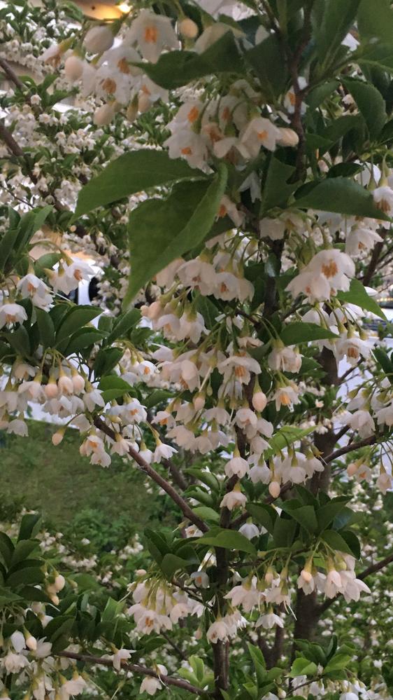 これは何という木でしょうか? 花をアップで撮りましたが大きめの木です、甘くて良い香りがします。