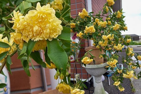 この花の名前を教えて下さい 遠くから見るとヤマブキに似ていました