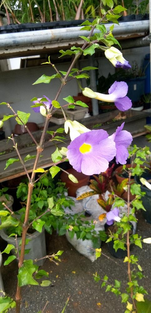 植物の名前を教えてください。 植栽値は沖縄です。