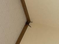 このクモはアシダカグモでしょうか? もし家の害虫を駆除してくれるクモでしたらそのまま放置しますが、そうでなければ外に何とかして逃がそうと思ってます…