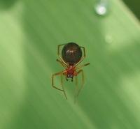 教えて下さい、この、ヒメグモ?のような蜘蛛、何蜘蛛でしょうか?