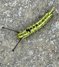 この毛虫(幼虫)の正体を教えて下さい。