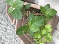 この雑草、なんという植物か分かる方教えて頂けませんか? この濃い緑のシソにも似た植物、この春に土の目地からたくさん芽が出てきて困っています。