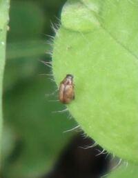 この昆虫の種名を教えてください。 体長4mm以下、三重県伊賀市 ウリハムシモドキにしては小さいです。