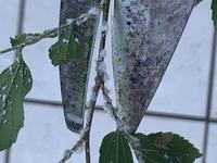 モッコウバラの枝打ちをしていたら一部の枝に画像の白い物体が結構ついていたのですがこれが何かわかる方いらっしゃったら御回答よろしくお願 いします。