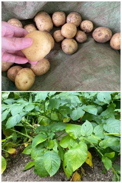じゃがいもの収穫時期について質問です 庭にじゃがいもを植えたのですが、下の方の葉が黄色くなって...