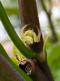画像のクモは何という種類でしょうか。 タイタンビカスについていました。 虫食べるだけなら良いのですが、毒があったり植物に影響があるなら困ります…。 くも、クモ、蜘蛛