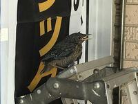 この鳥はなんという鳥ですか? ずっと店先に居着いています。どうやらあまり飛べないようで1mほど上昇するとパタパタと落下してきます。ヒナでしょうか。