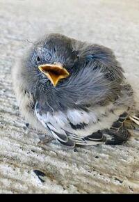 ヒナだと思います。 画像の鳥の種類を教えて下さい。