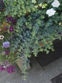 珍しい植物らしいのですが色々調べても名前がわかりません。 詳しい方いましたらご回答宜しくお願い致します。
