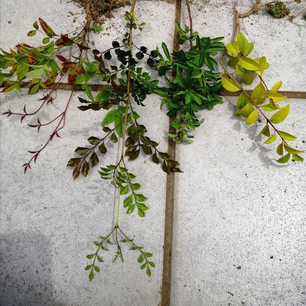 この木は何ですか? 自宅の花壇に勝手に生えてきました。 調べたところ四本のうちの二本はシマトネリコとピラカンサではないかと思ったのですが、自信がありません。 あまり大きくならず、常緑樹であれば植え付けて育てようと思っています。