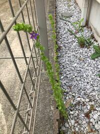 これが家の周りにたくさん生えてきました。この花の名前を教えてください。